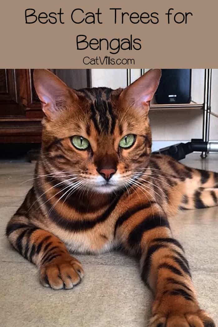 Looking for the best cat trees for Bengals? Check out our top 5 favorites, plus learn what to look for when choosing the right one for your kitty!
