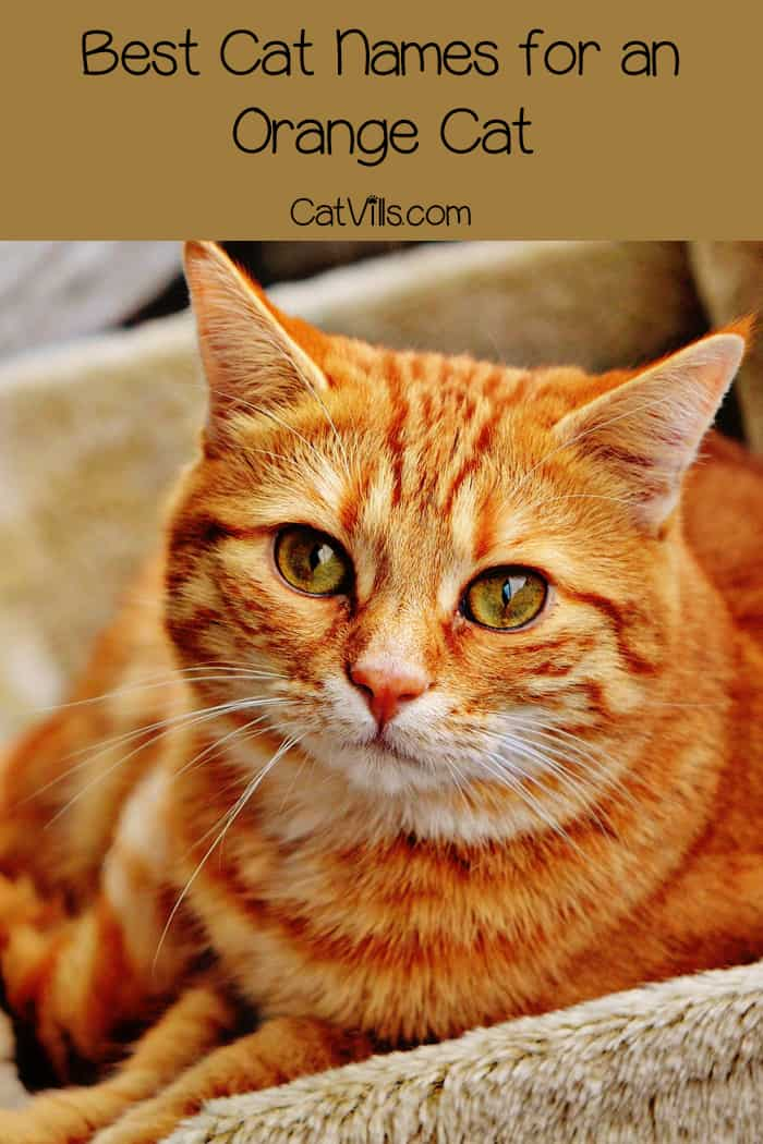 Top 10 Orange Cat Names for Your New Ginger Tabby- CatVillsOrange And White Bengal Cat