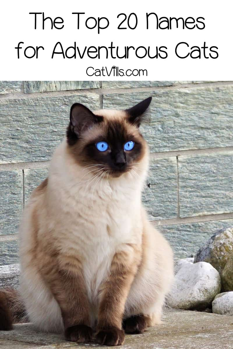 If you want to call your kitty something that shows off your love of action & excitement, you need to check out these 20 adventurous cat names!