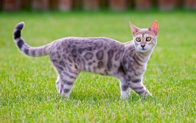 Genetta Cat Breed: All About This Unique Dwarf Cat