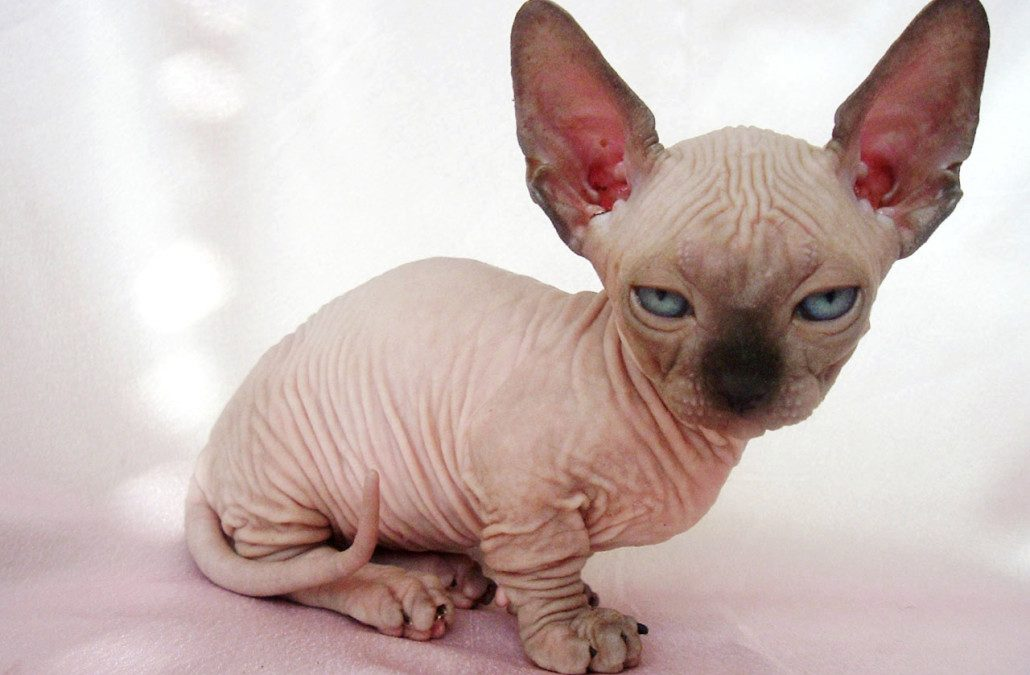 The Minskin Cat Breed: Your Complete Guide to This Lovable Munchkin Cat