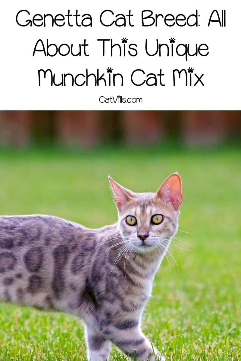 Have you heard of the Genetta cat breed? It's a relatively new designer munchkin cat mix that's quickly gaining in popularity. Learn all about it!