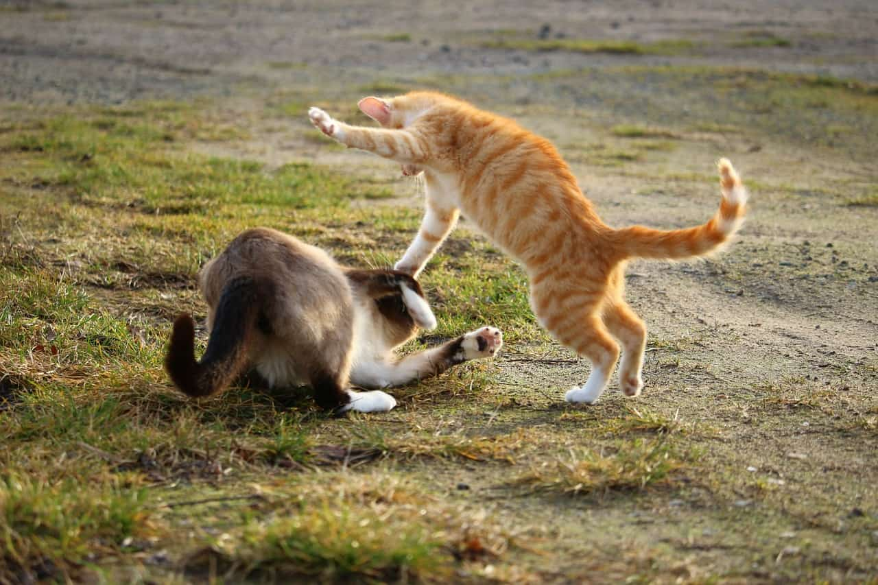 Do you want to know how to break a cat fight? Keep on reading to get five amazing tips to break up your fighting felines safely.