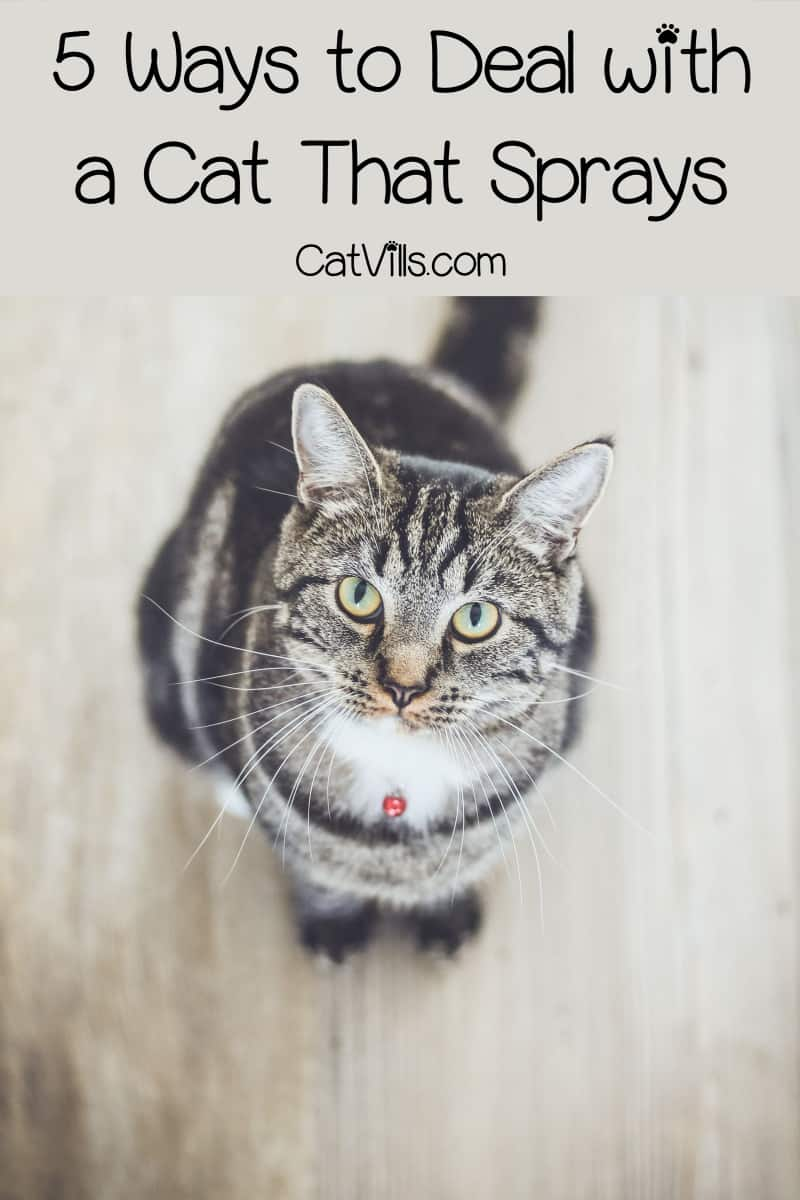 Do you know how to deal with a cat that sprays? No one wants to clean up cat urine everywhere! Learn how to avoid the mess and stop the spraying!