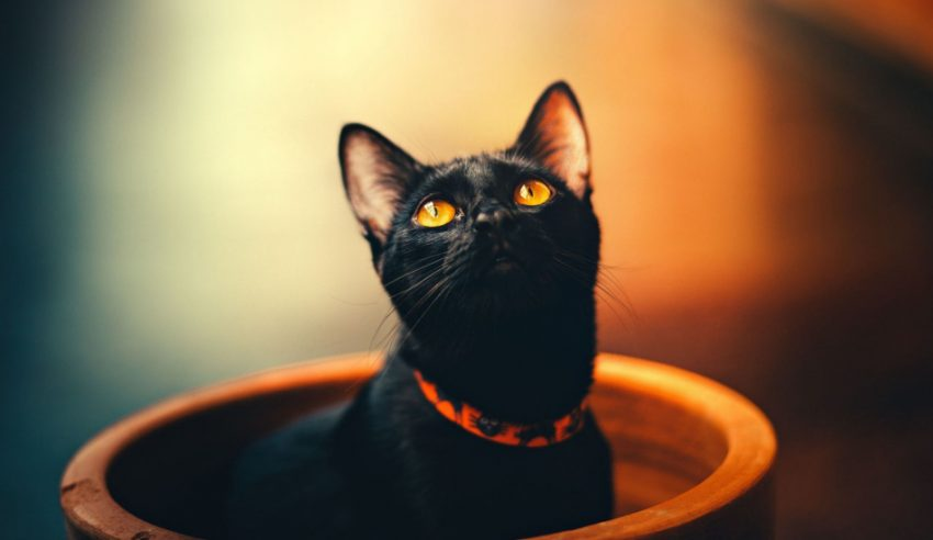 We're checking out the most gorgeous ebony felines around, from fluffy black cat breeds to sleek short-haired kitties. Take a look!