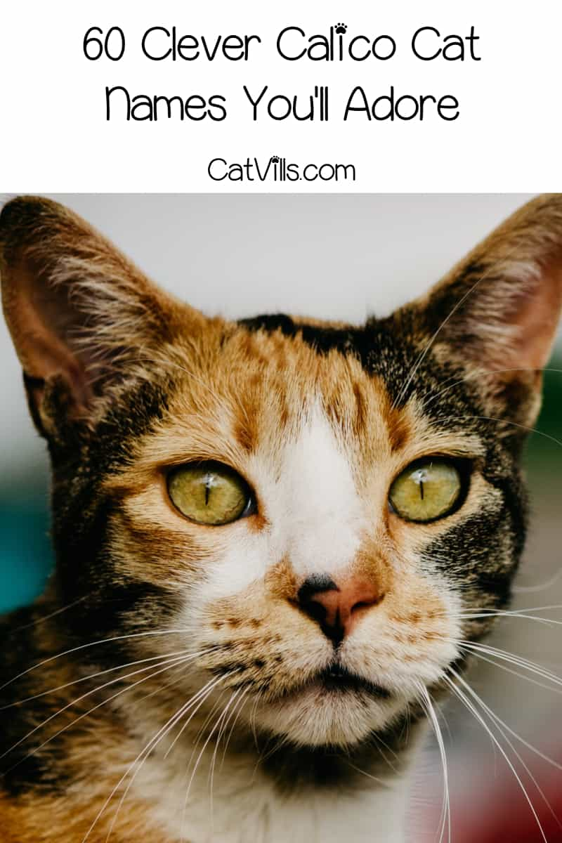 If you're looking for some clever calico cat names, you're going to adore the 60 ideas on this list! Read on to check them out!