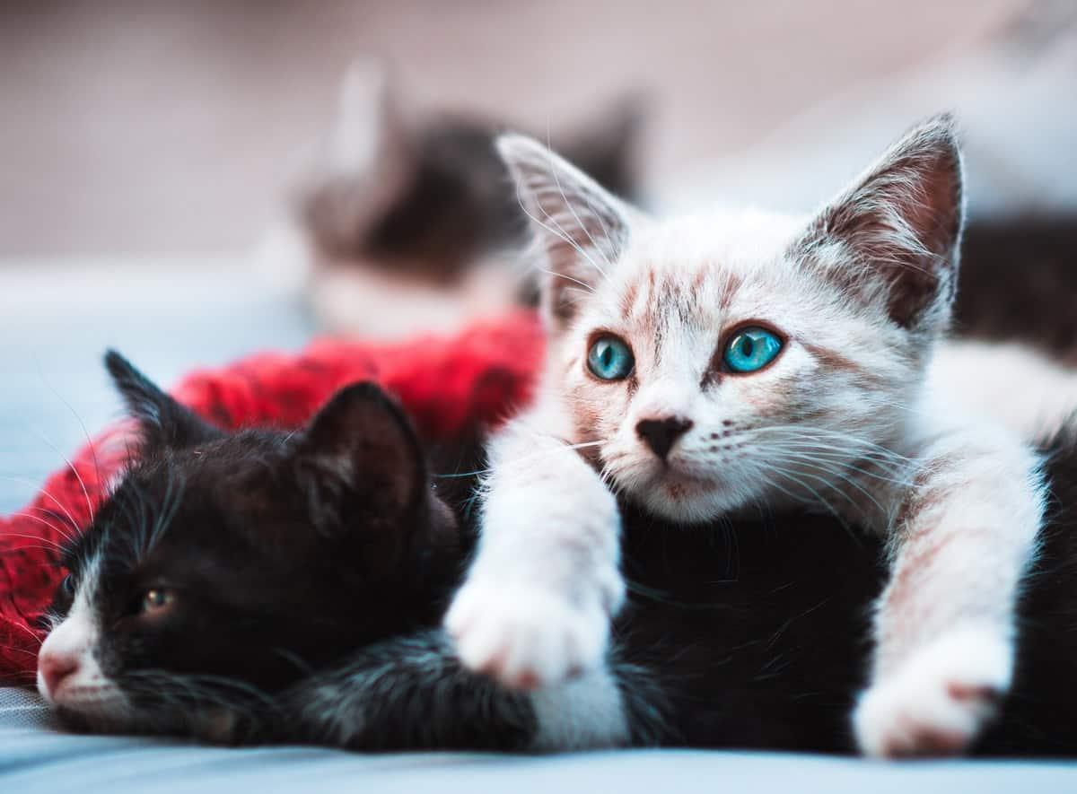 blue-eyed white kitten on top of a black cat