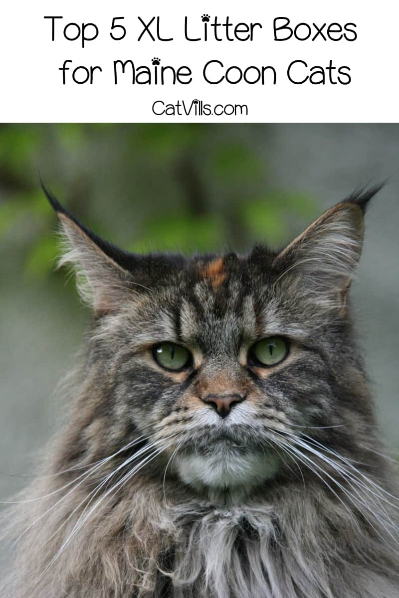 Looking for the best litter boxes for Maine Coon cats? Size definitely matters! Find out what to look for, then check out our top 5 XL litter box picks!