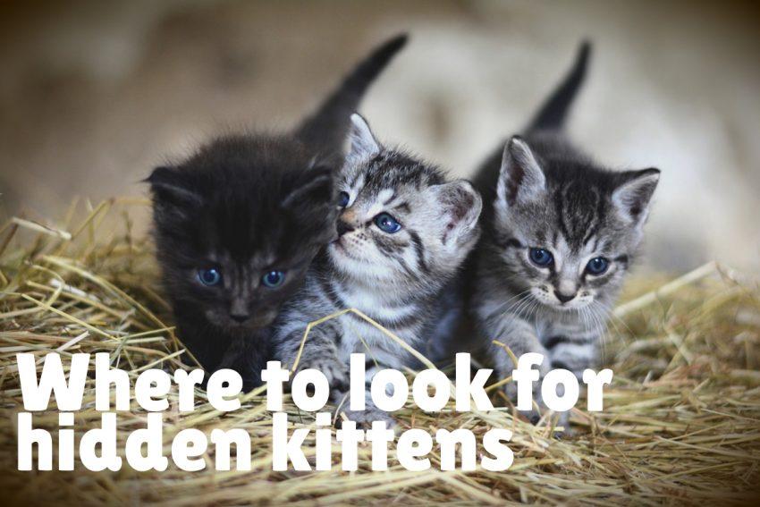 3 blue-eyed kittens on straw grasses