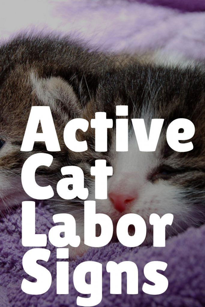 Signs of active labor in cats