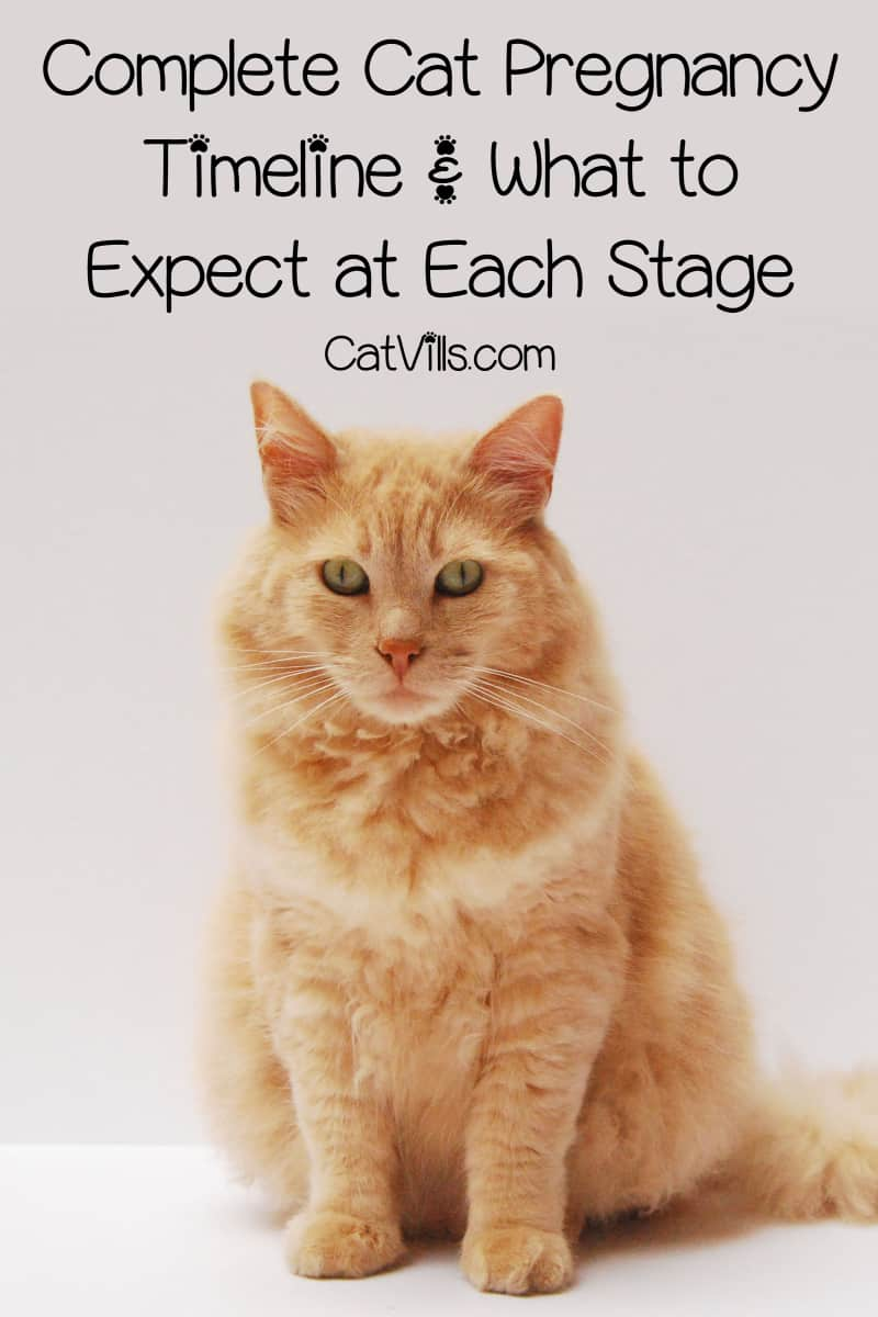 The more you know about the cat pregnancy timeline, the better. If your cat is pregnant, this complete guide can help you navigate the process.