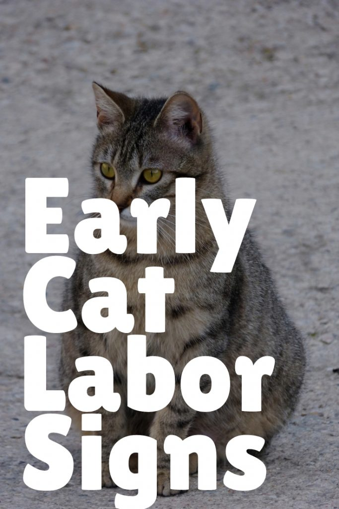 Early labor in pregnant cat timeline