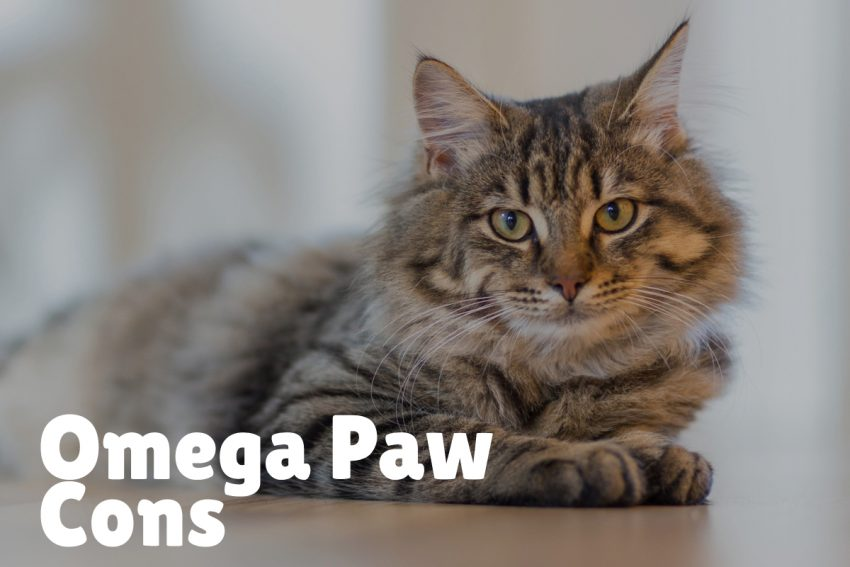 a large Maine coon cat with omega paw