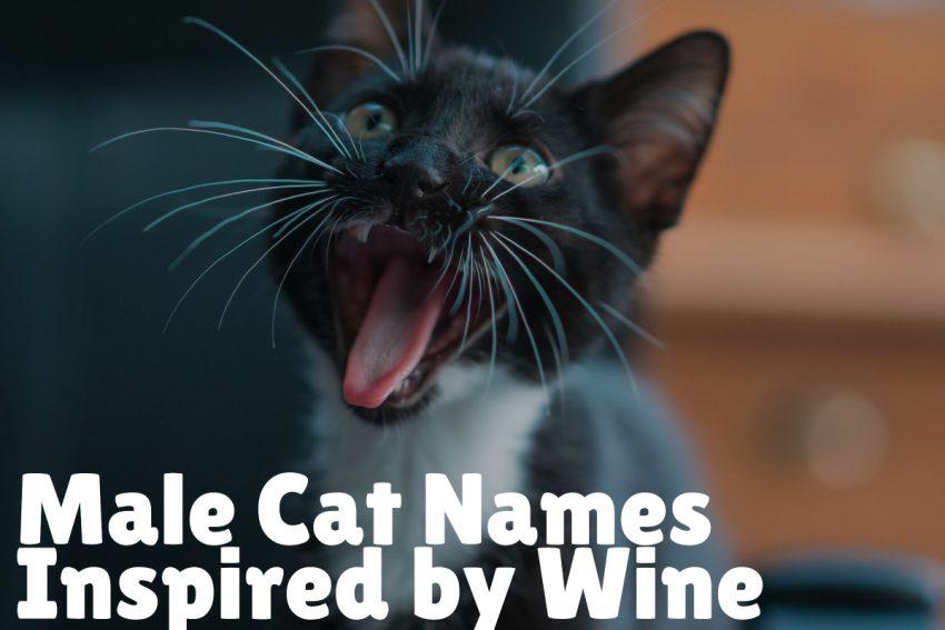 a black cat growling