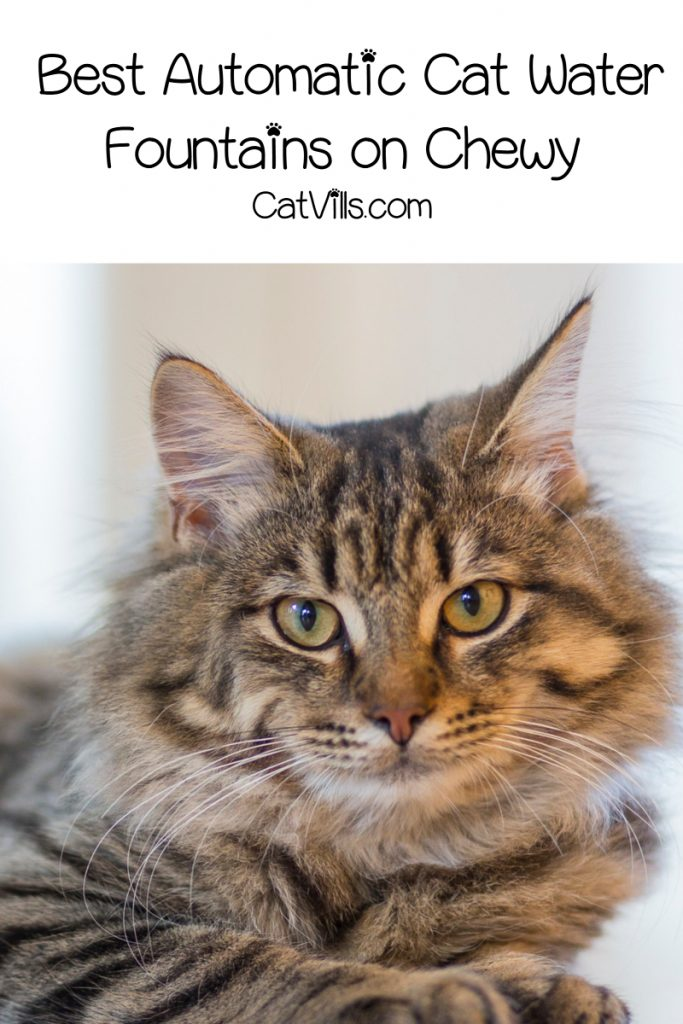 large maine coon cat