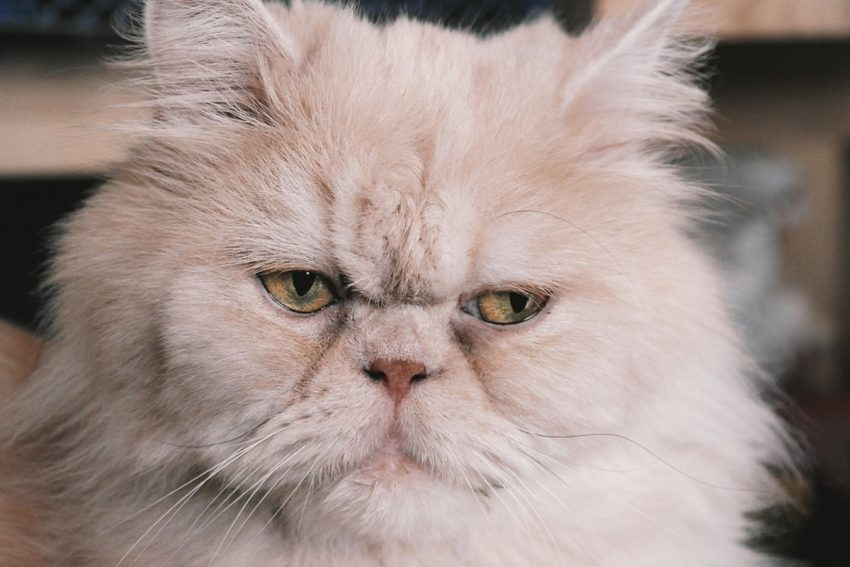Looking for the best water fountains for Persian cats & other flat-faced breeds? Check out our top 5 most highly recommend Persian cat bowls!