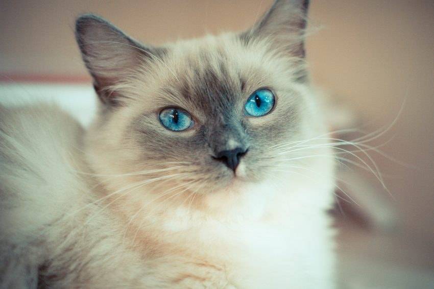 Shopping for the best cat trees for Ragdolls? Wondering if Ragdolls even like cat trees? Check out our buying guide for the answer & our top picks!