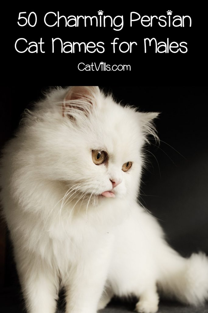 If you're looking for the best Persian cat names for your kitty, you're going to love our list. Check out 50 ideas for males!