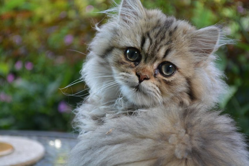 If you're looking for the best Persian cat names for your kitty, you're going to love our list. Check out 100 ideas for males & females!
