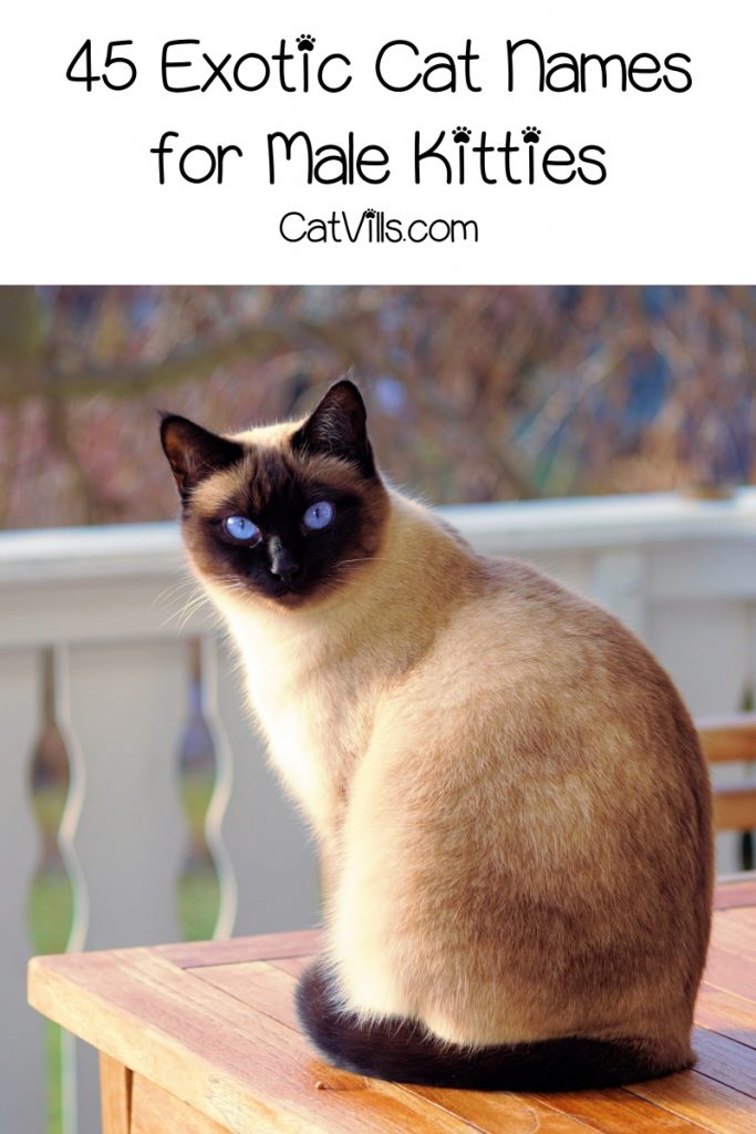 Tired of the same old boring ideas for kitty monikers? Check out 45 of the most beautifully exotic cat names for males!
