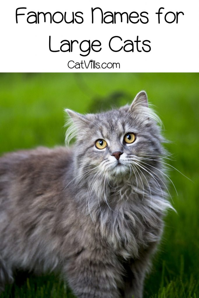 If you're looking for the best names for large cats like the Maine Coon or Ocicat, we've got you covered!