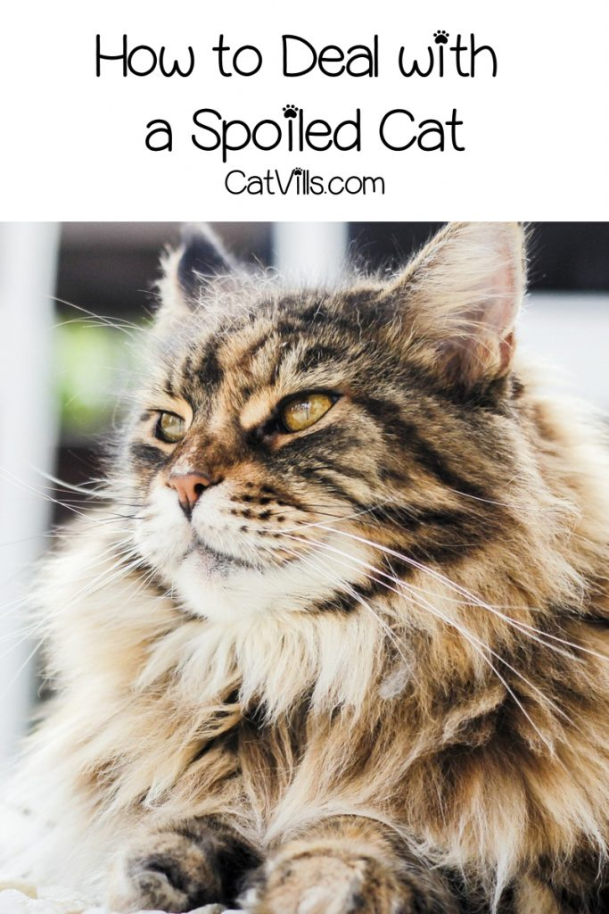 How can I deal with a spoiled cat? If you over-indulged kitty to the point of bad behavior, read on for 5 ways to undo the damage!
