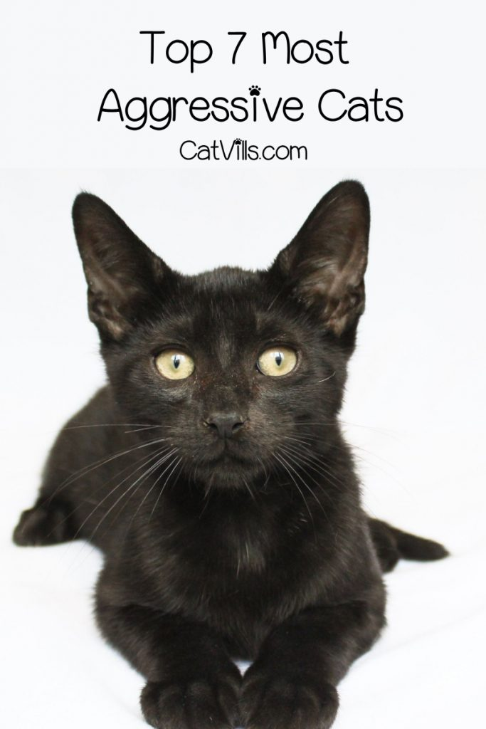 """""""What are the most aggressive cat breeds?"""" Picture featuring a black cat"""