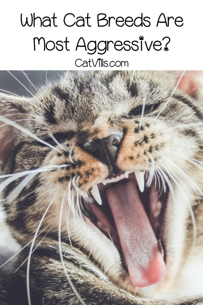 """""""What are the most aggressive cat breeds?"""" While every kitty has his own unique personality, these are the 7 that tend to be the """"meanest."""""""