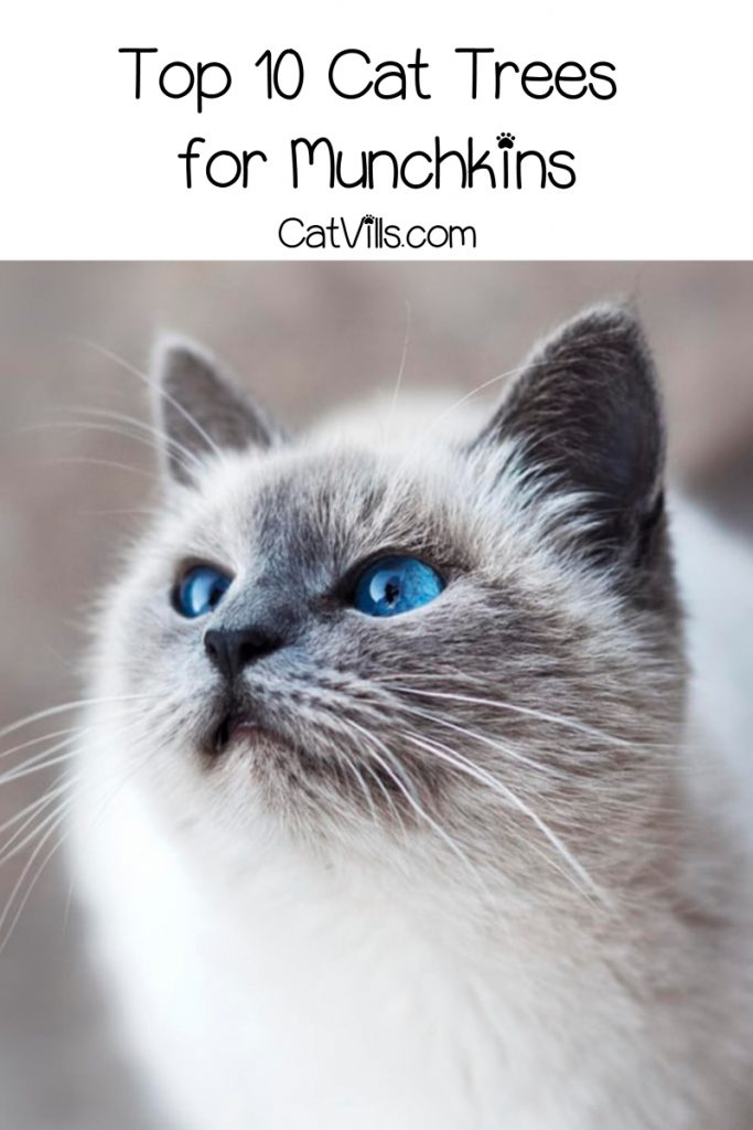 Choosing the best munchkin cat trees is trickier than picking out one for your long-legged kitty. Don't worry, though, I've got you covered with these 10!