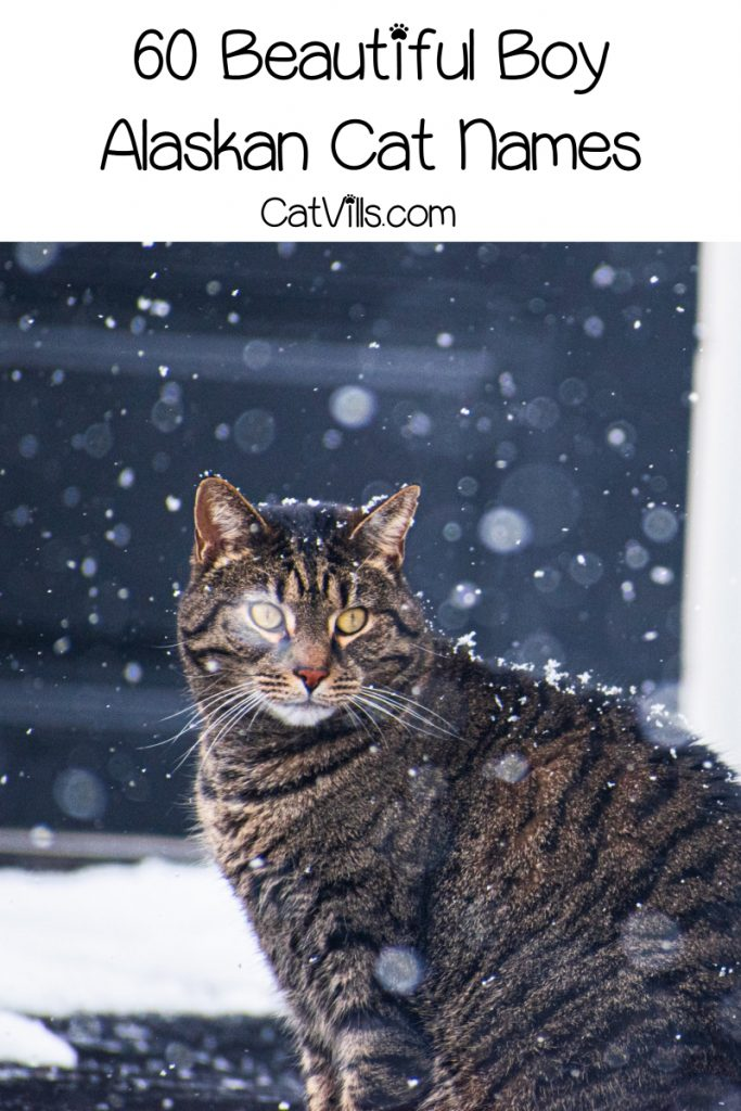 If you're looking for some fantastic Alaskan cat names, get ready to be wowed! We've rounded up 60 inspired by America's coldest state! Check them out!