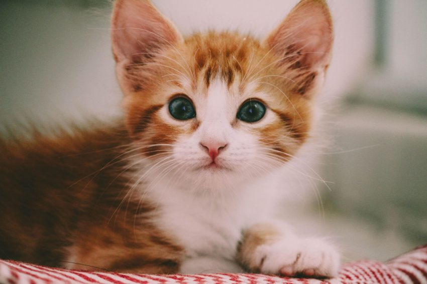 Cute orange kitten staring into the camera