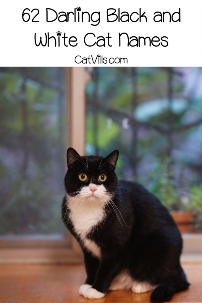 Choosing a great name is always hard! Take a look at our black and white cat names list and find the best one for your little kitten.