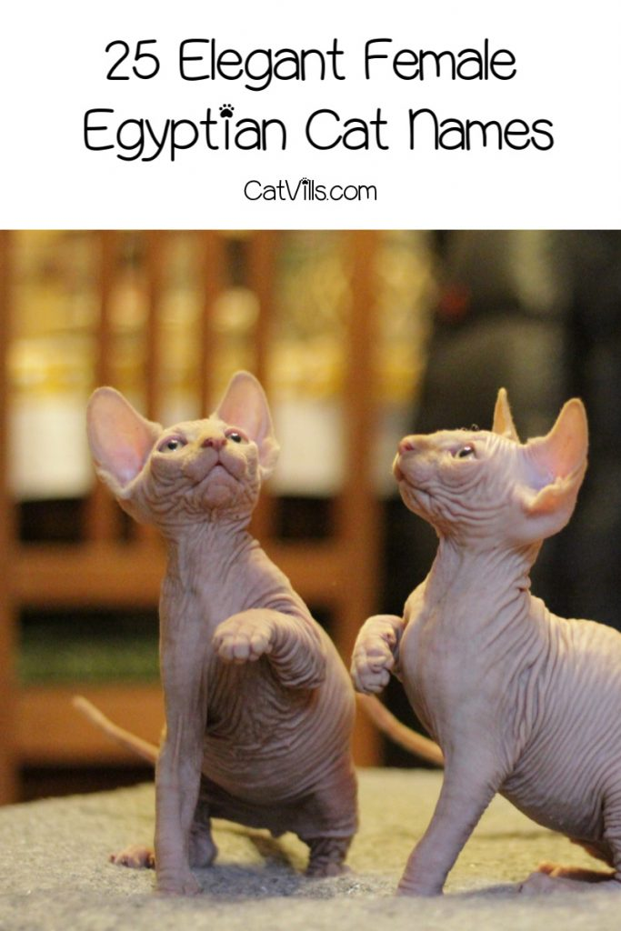 Searching for some of the most beautiful and elegant Egyptian cat names? Check out 50 that we adore, with 25 each for male and female kittens!