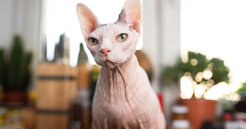 Have you ever heard about the Mexican cat breed, also known as Mexican Hairless cat? No? You're not alone! Read on about this rare kitty!
