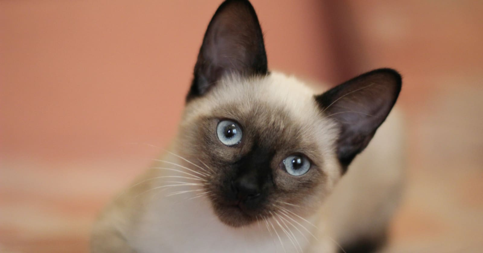 If you're searching for some of the most beautiful Siamese cat names, stick around! We're sharing our top 50 favorites! Take a look!