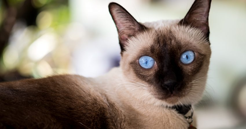 The Siamese is one of the cutest cat breeds in the world.