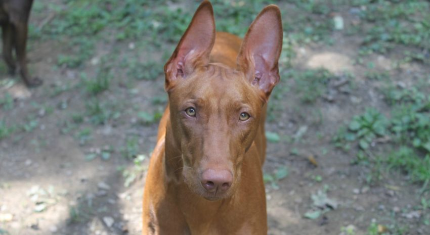 Sighthounds are among the worst dog breeds for cats.