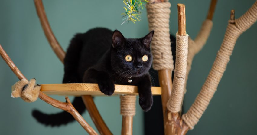 Black cat sitting on a perch of a natural cat tree placed in the bedroom.