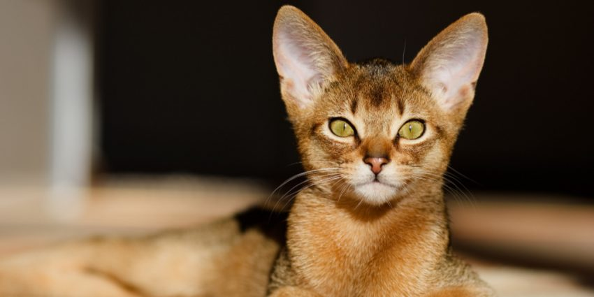 The Abyssinian is one of the cutest big-eared cat breeds