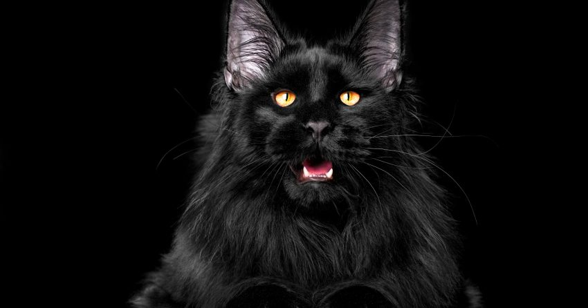 Are you in love with black cat breeds and can't get enough of them? Then you're going to love this list! We rounded up the most stunning ebony kitties!