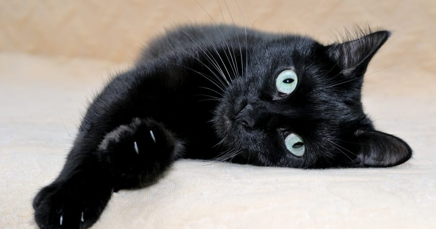 LARGE BLACK CAT BREEDS bombay