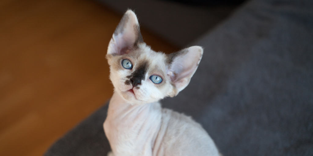The Devon Rex is one of the cutest big-eared cat breeds