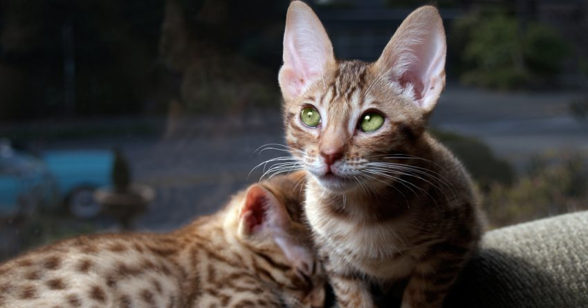 Are in love with striped cat breeds and can't get enough of these purring creatures? Then check out these 11 of the most amazing cats with stripes that you can find!