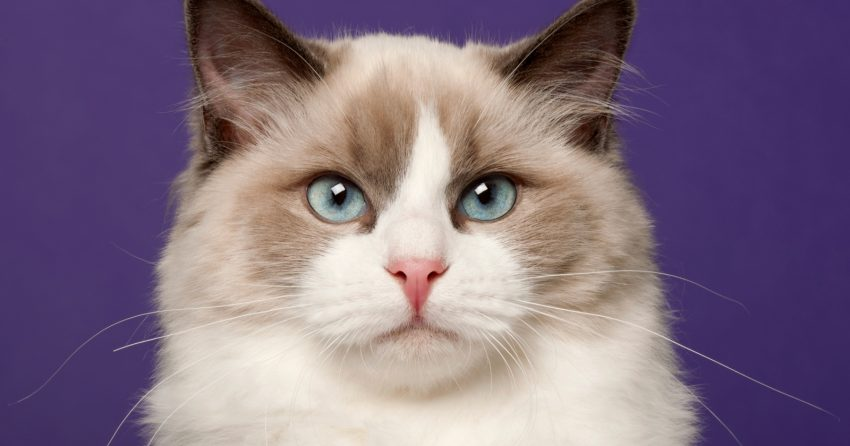No matter the situation, here you have a list of the most beautiful Ragdoll cat names for you adorable fur ball. The Ragdoll breed is really precious!
