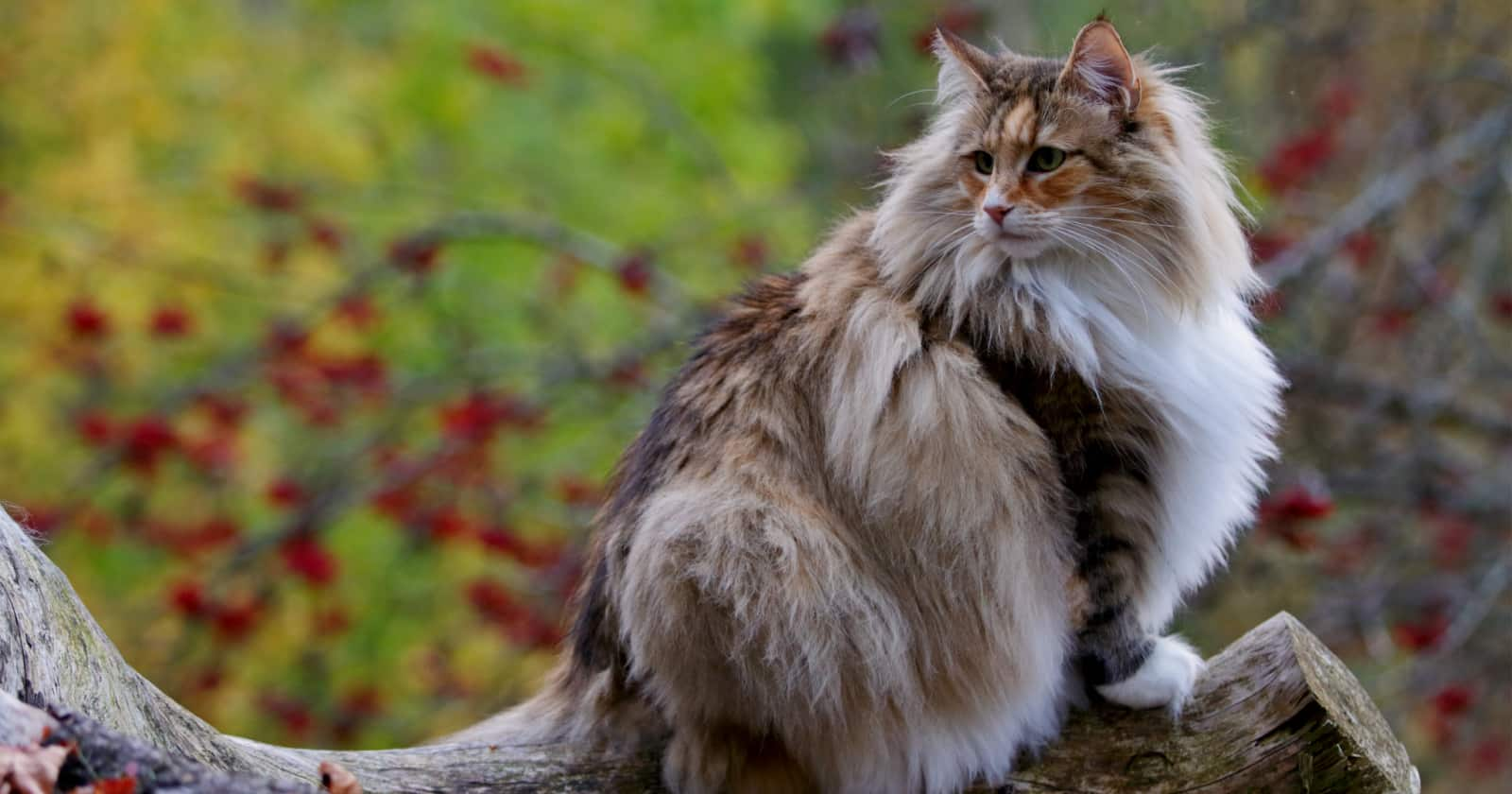 Curious about the largest cat breeds? While lions and tigers dominate in the wild, these 7 kitties are the biggest in the domestic cat world.