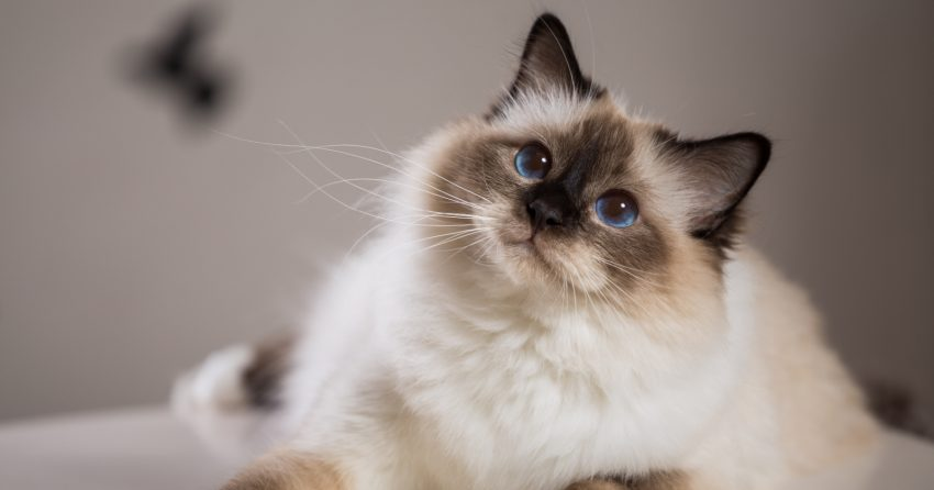 The Birman is one of the cutest cat breeds in the world.