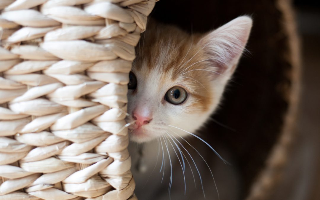 5 Tips on How to Get Kittens to Come Out of Hiding