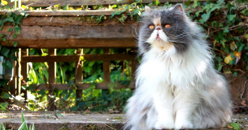 Persian cats have been one of the most popular breeds, which is not surprising given their appearance.
