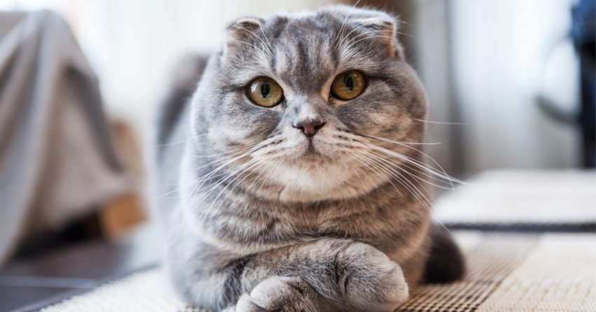 The Scottish Fold, one of the world's cutest cats.