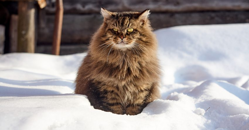 The Siberian is a powerful and highly intelligent Russian cat breed.